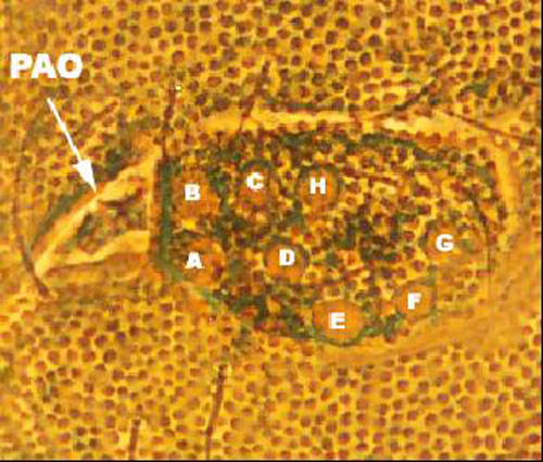 Post-antennal organ and eight ocelli of Ceratophysella bengtssoni